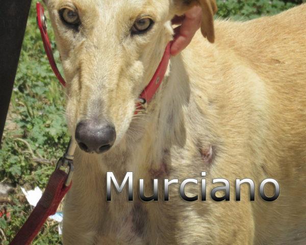 Murciano-(1)