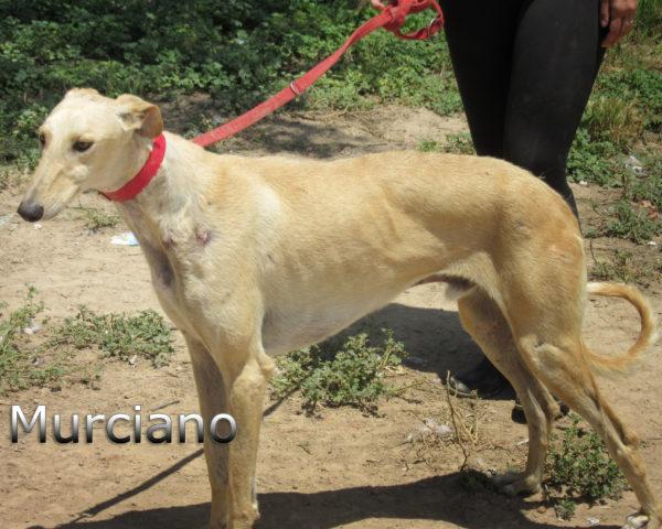 Murciano-(2)