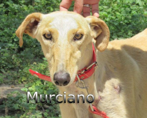 Murciano-(5)
