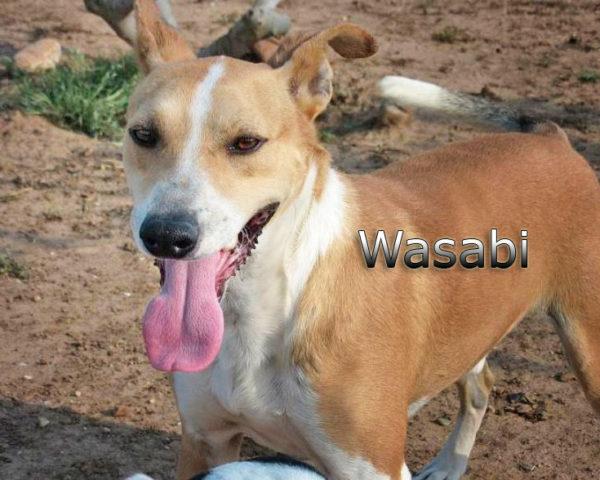 Wasabi5