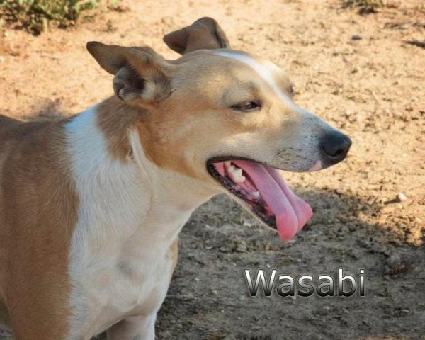 Wasabi8