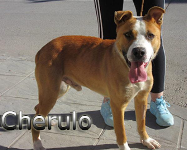 Cherulo-(4)web