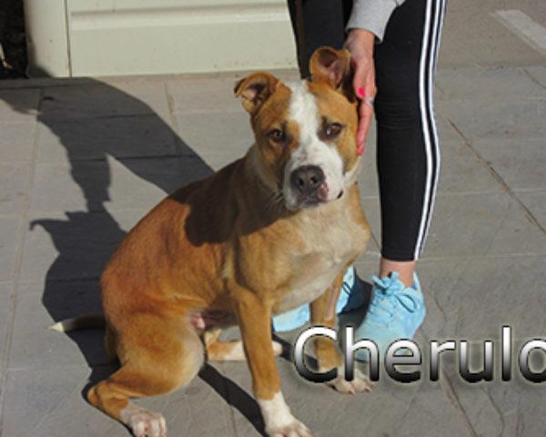 Cherulo-(5)web