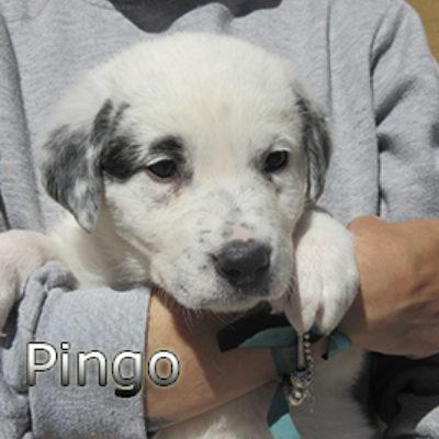 Pingo-(2)web