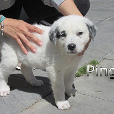Pingo-(4)web
