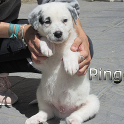 Pingo-(9)web