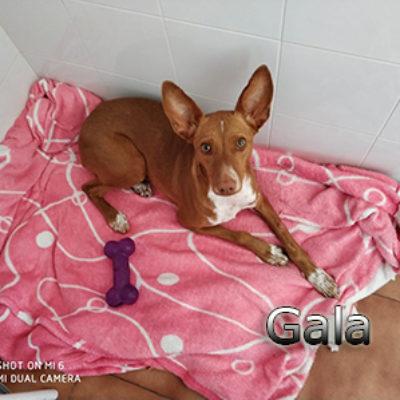 Gala-(1)web
