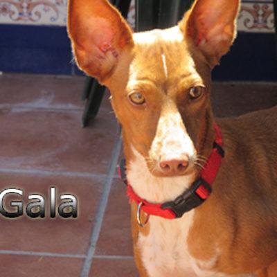 Gala-(2)web