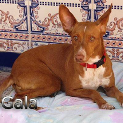 Gala-(4)web