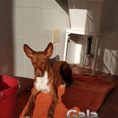 Gala-(9)web