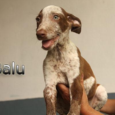 Balu-(2)web