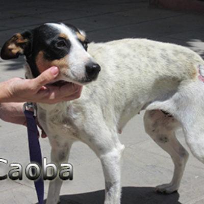 Caoba-(9)web
