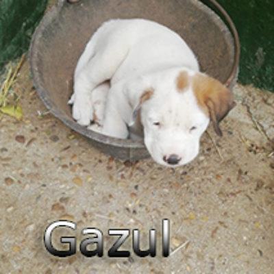Gazul-(2)web