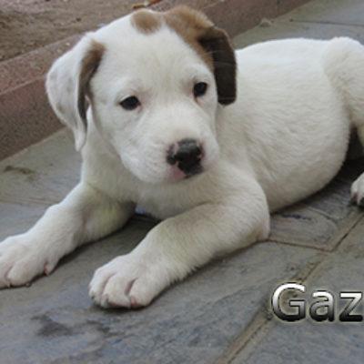 Gazul-(7)web