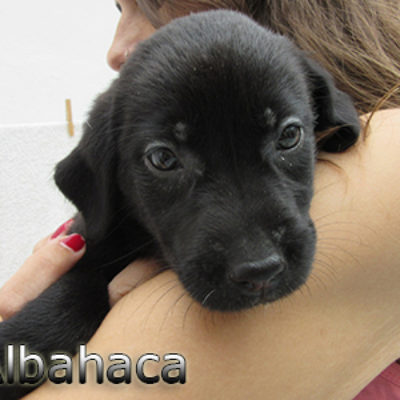 Albahaca-(1)web