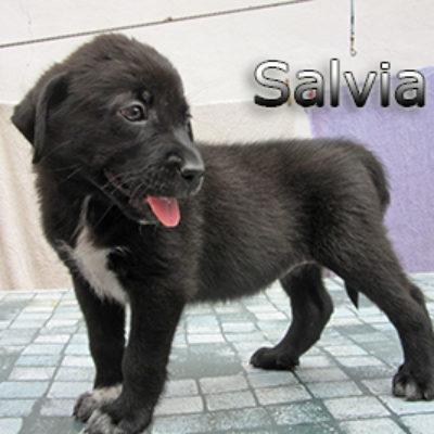 Salvia-(10)web