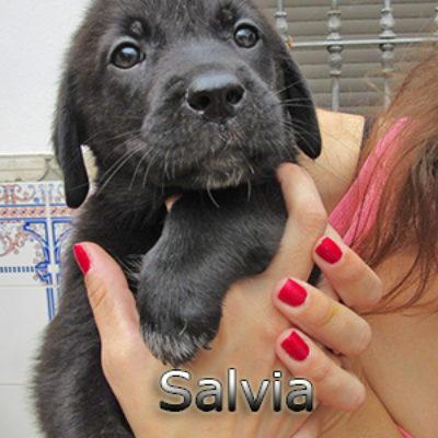 Salvia-(12)web