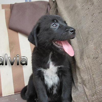 Salvia-(4)web